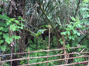 Salak plantations are dense with vegetation and thorns, lots of thorns