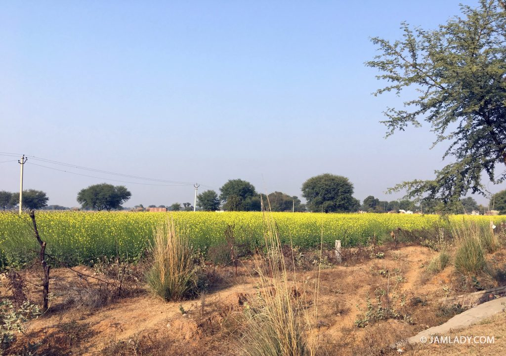 Fields of mustard growing near Ranthambhore.