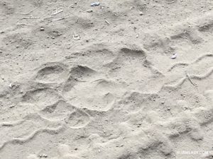 Tiger paw print, tracking tigers in Northern India's Ranthambhore National Park. Bengal tigers have been protected there since 1973.